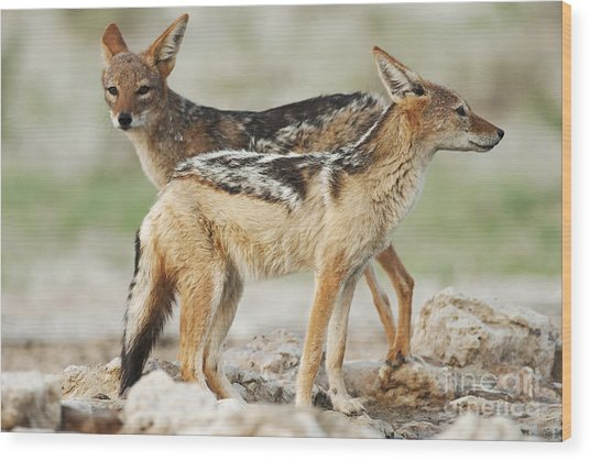 Black-backed Jackal, Canis Mesomelas Wood Print
