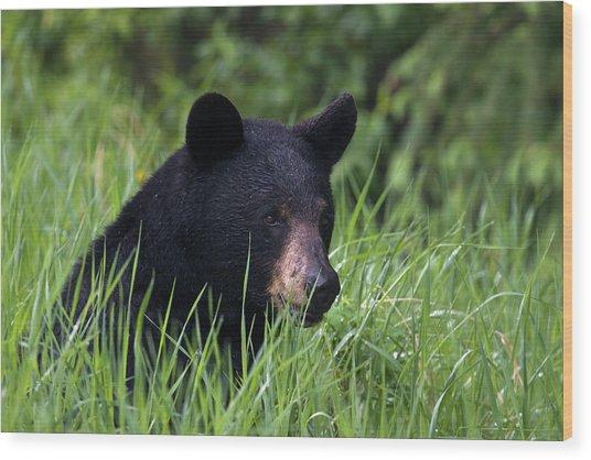 Black Bear, Spring Rain Wood Print by Ken Archer