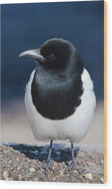 Black-billed Magpie Pica Hudsonia Wood Print