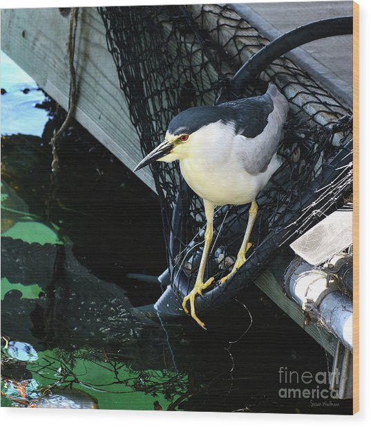 Black-crowned Night Heron Planning Its Dinner Wood Print