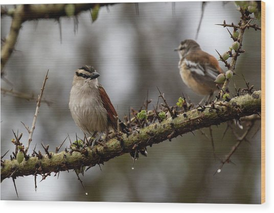 Black-crowned Tchagra And White-browed Scrub-robin Wood Print
