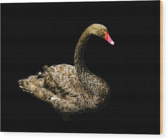 Black Swan On Black  Wood Print