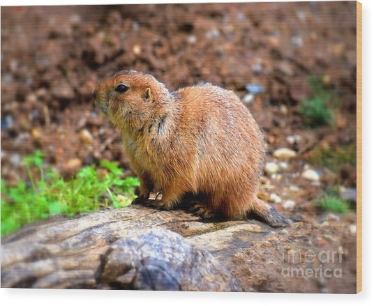 Wood Print featuring the photograph Black Tailed Prairie Dog by Patti Whitten