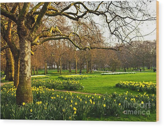 Blooming Daffodils In St Jamess Park In Wood Print