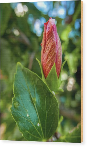 Blooming Hibiscus Wood Print