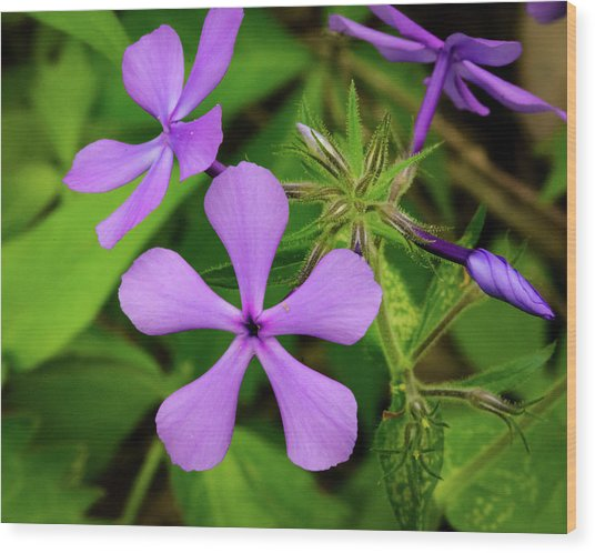 Blue Phlox Wood Print