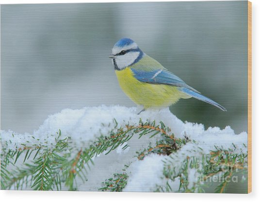 Blue Tit, Cute Blue And Yellow Songbird Wood Print