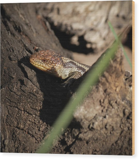 Blue Tongue Lizard Wood Print