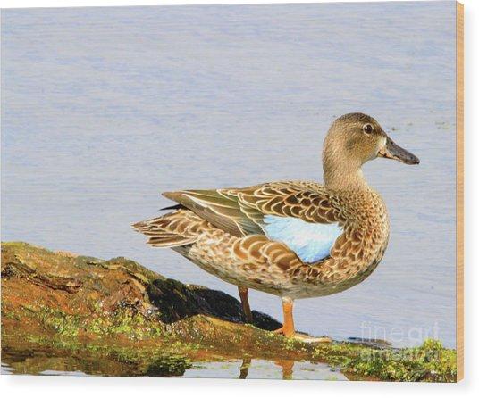 Blue-winged Teal Female Duck Wood Print