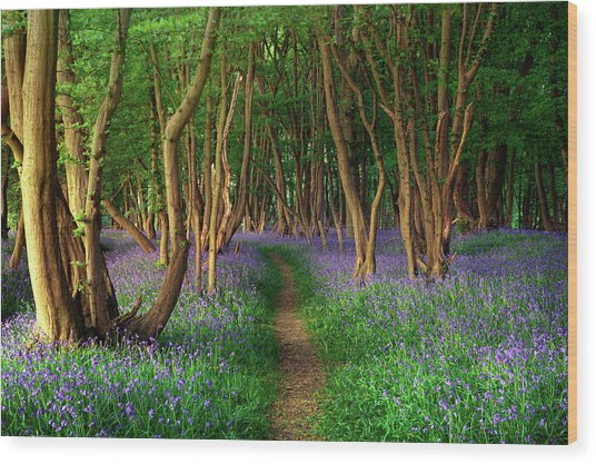 Bluebells In Sussex Wood Print