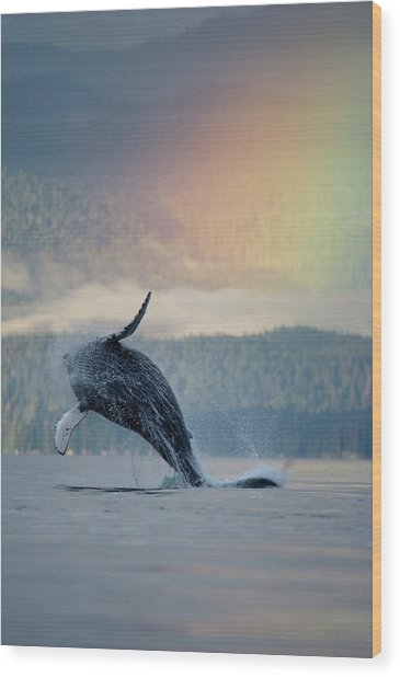 Breaching Humpback Whale And Rainbow Wood Print