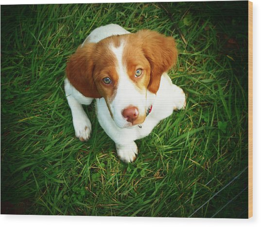 Brittany Spaniel Puppy Wood Print