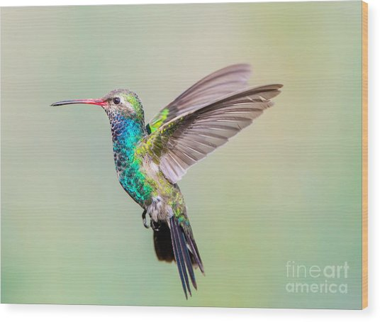 Broad Billed Hummingbird. Using Wood Print