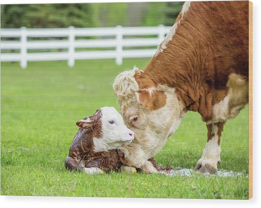 Brown & White Hereford Cow Licking Wood Print by Emholk