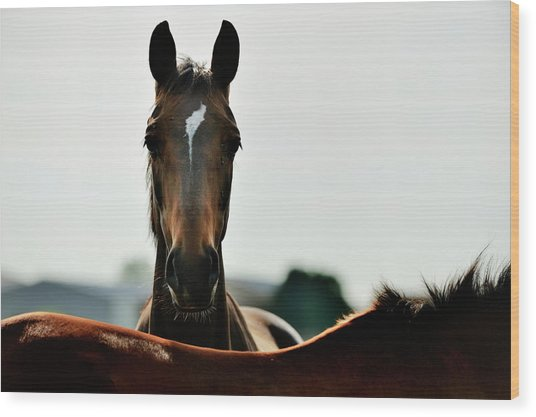 Brown Horse Back Lit Wood Print by Akrp