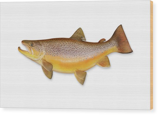 Brown Trout With Clipping Path Wood Print by Georgepeters
