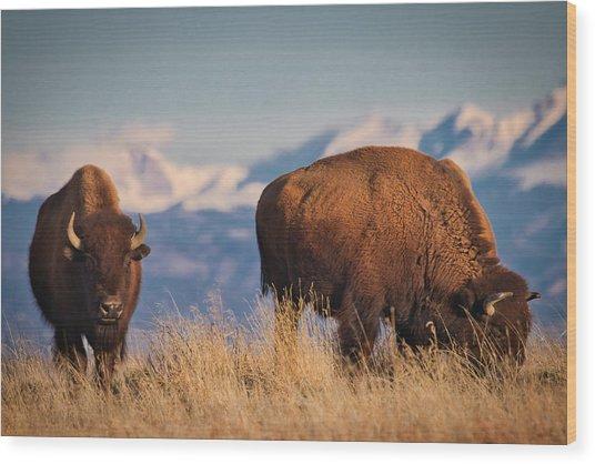 Buffalo Grazing At Dawn Wood Print