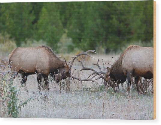 Bull Elk Battle Rocky Mountain National Park Wood Print