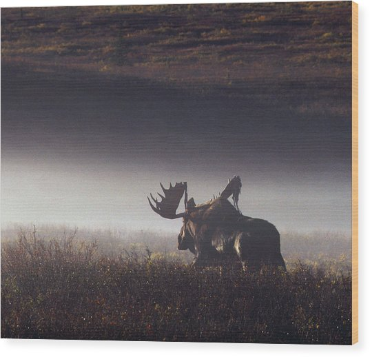 Bull Moose Alces Alces Walking Through Wood Print
