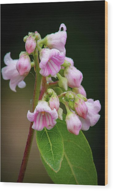 Bunch Of Dogbane Wood Print