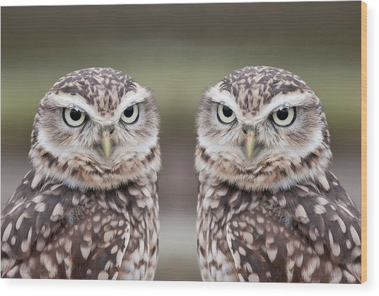 Burrowing Owls Wood Print