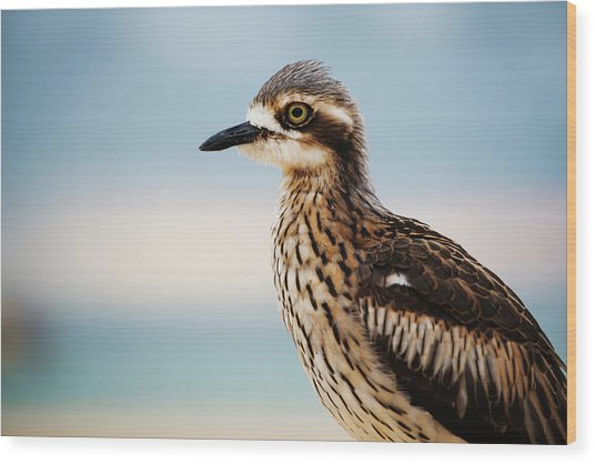 Bush Stone-curlew Resting On The Beach. Wood Print