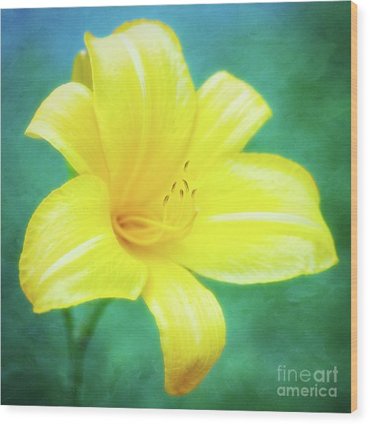 Buttered Popcorn Daylily In Her Glory Wood Print
