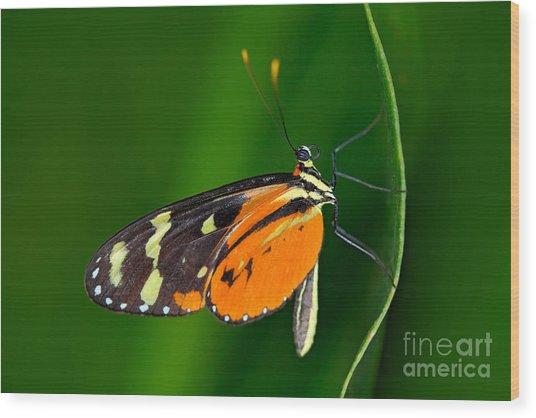 Butterfly Heliconius Hacale Zuleikas Wood Print by Ondrej Prosicky