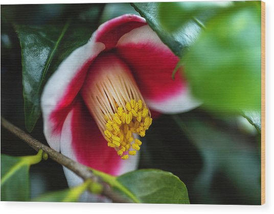 Camellia Bloom And Leaves Wood Print