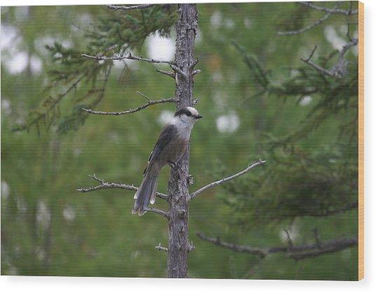 Canada Jay 101305 Wood Print