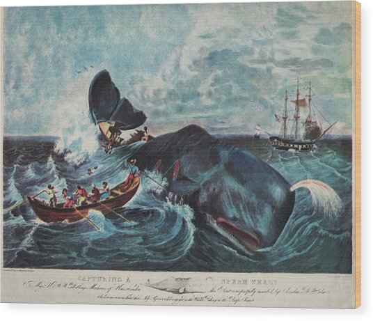 Capturing A Sperm Whale Wood Print by Hulton Archive