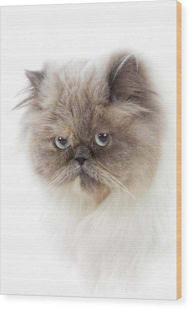 Cat With Long Hair Wood Print by Www.wm Artphoto.se