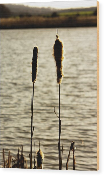 Cattails In The Sun Wood Print
