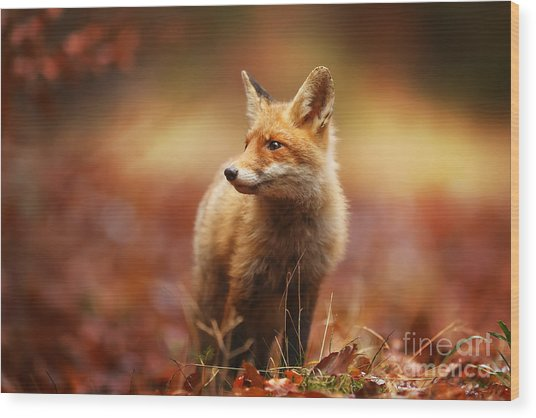 Cautious Fox Stopped At The Edge Of The Wood Print