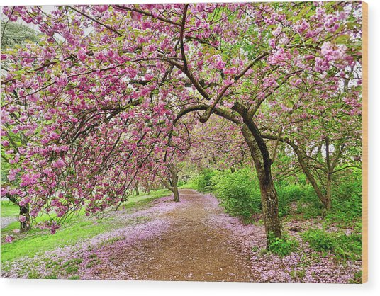 Central Park Cherry Blossoms Wood Print