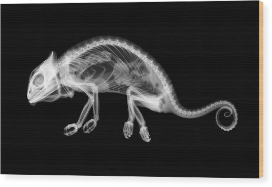 Chameleon Chamaeleo Chamaeleon Wood Print
