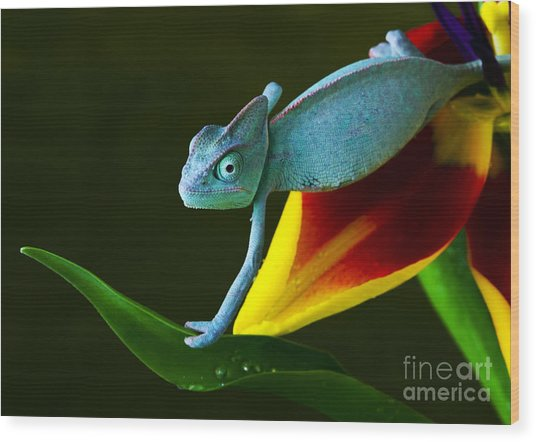 Chameleons Belong To One Of The Best Wood Print