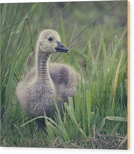 Cheeky Goose With His Tongue Out Wood Print by Blackcatphotos