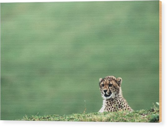Cheetah Acinonyx Jubatus, United States Wood Print by Mark Newman