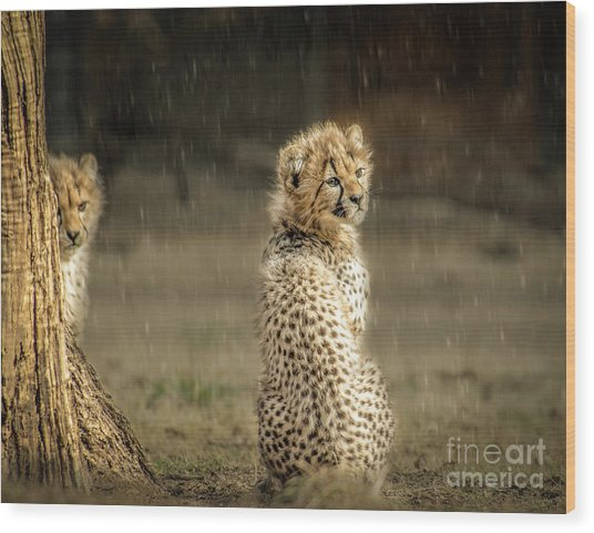 Cheetah Cubs And Rain 0168 Wood Print