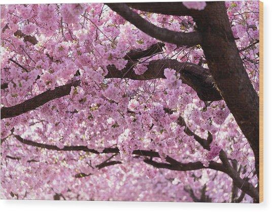 Cherry Blossom Trees Wood Print