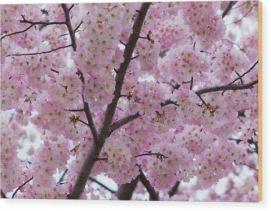 Cherry Blossoms 8611 Wood Print