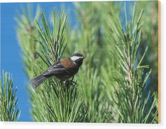 Chestnut-backed Chickadee Wood Print