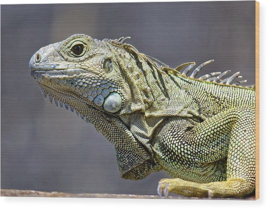 Chicken Of The Trees - Iguana Wood Print