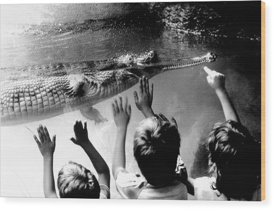 Children Reach Towards The Gharial Wood Print by New York Daily News Archive
