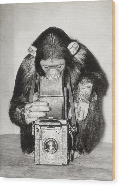 Chimpanzee Looking Through Vintage Box Wood Print