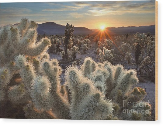 Chollas Cactus Sunrise Joshua Tree Wood Print by Sierralara