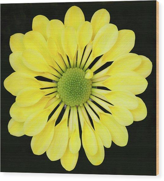 Chrysanthemum Wood Print by Andrew Dernie