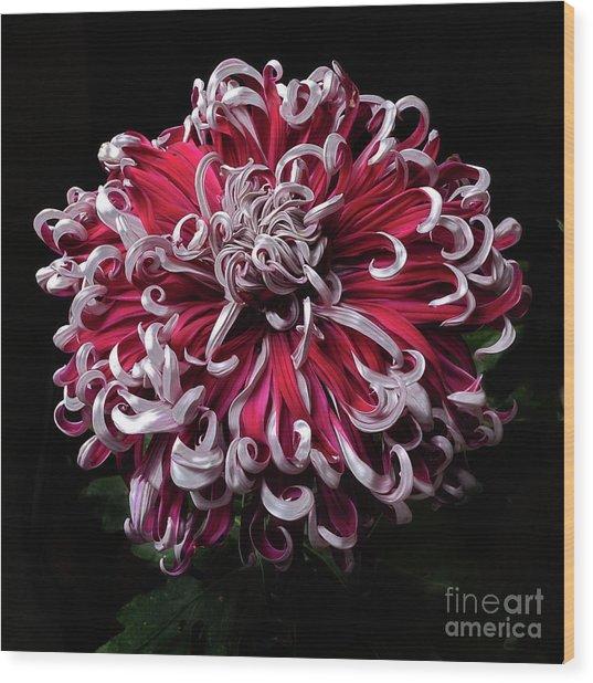 Wood Print featuring the photograph Chrysanthemum 'lilli Gallon' by Ann Jacobson