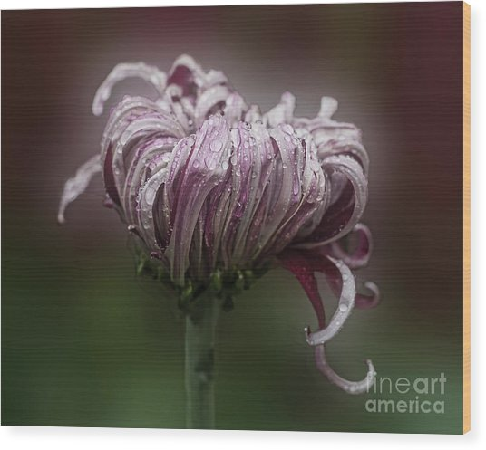 Chrysanthemum 'lily Gallon' Wood Print
